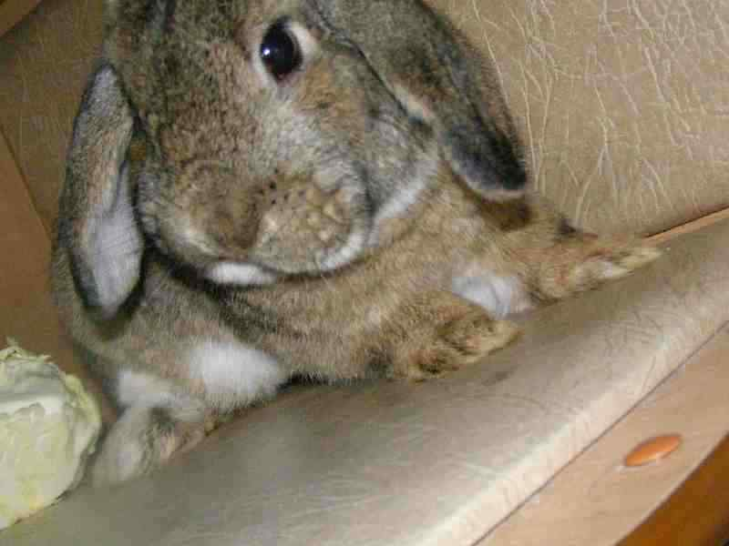 купить домашнего кролика в иваново для маленькой