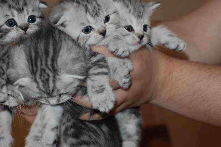 Вислоухие коты в пензе